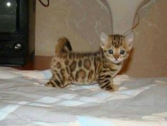 Bengal cat  I want one.