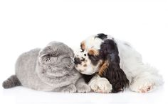 cat and dog, friendship, cute animals, Cocker Spaniel, Cats