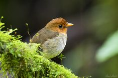 Frank Shufelt posted a photo:  February 25, 2017 at Santuario de Fauna y Flora Otún Quimbaya, Pereira, Risaralda, Colombia.  This was a very special find. The Hooded Antpitta (Grallaricula cucullata) is a rare and vulnerable species that is found in the Andes of Colombia and a very small area in neighboring Venezuela. It's a beautiful diminutive bird measuring about 10.5 cm.  Antpittas are secretive, wary and shy birds that inhabit the dark understory of mountain forests. They never stray…