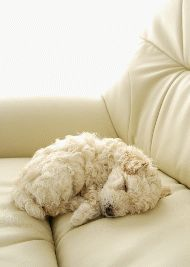 Adorable dogs Stock Photo by Cute Puppies, Dogs And Puppies, Adorable Dogs, Doggies, Animals Beautiful, Cute Animals, Lagotto Romagnolo, Sleepy Dogs, Bow Wow