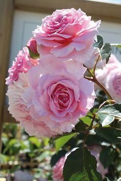 Englische Rosen James Galway ® Ein großartiger, großer Strauch mit langen, leicht überhängenden, fast stachellosen Trieben - typisch für unsere 'Leander'-Gruppe. Eine robuste Rose, frei von Krankheiten, ausgezeichnet für den Hintergrund einer Rabatte. Die Blüten sind groß und gefüllt, mit vielen hübsch angeordneten Blütenblättern. Die Blütenfarbe ist in der Mitte ein reizendes warmes Rosa, das zu den Rändern hin verblaßt. - gefunden auf: www.tom-garten.de