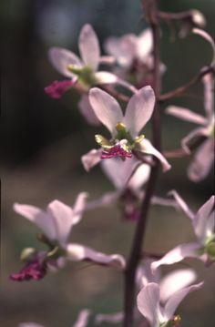 Eulophia cristata