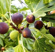I offers tips for growing figs in northern climates. Where the winter cold can kill a fig tree, try growing the plant in containers. When it gets cold outside, move the fig inside for the winter. Ficus, Patio Fruit Trees, Fruit Garden, Organic Gardening, Gardening Tips, Growing Fig Trees, Fig Varieties, Black Mission Fig, Gardens