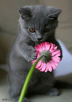 gray kitten, pink flower