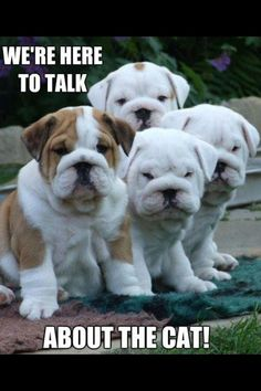 LOL! These English Bulldog puppies have some serious questions. www.bullymake.com