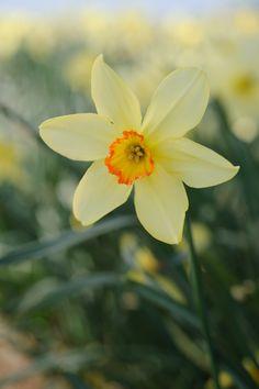 "HERITAGE DAFFODIL: in Cornwall. ""Gardens Illustrated"" March 2010 (pic. Jason Ingram.     ✫ღ⊰n"