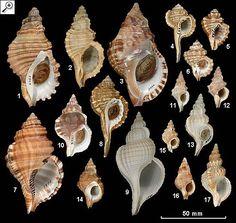 Family Ranellidae 1. Cabestana spengleri 2. Cabestana tabulata 3. Charonia lampas rubicunda 4. Cymatium caudatum 5. Cymatium exaratum 6. Cymatium labiosum 7. Cymatium parthenopeum 8. Cymatium sinense 9. Fusitriton magellanicus retiolus 10. Ranella australasia 11. Sassia remensa 12. Sassia garrardi 13. Sassia kampyla 14. Sassia parkinsonia 15. Sassia ponderi 16. Sassia pumilio 17. Sassia subdistorta
