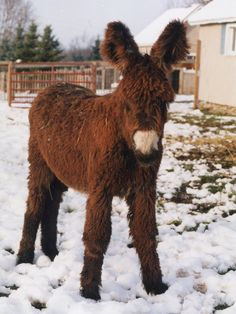 "French Poitou Donkey (Pontoon) ""The father of Mules"" is so cute and FLUFFY!"