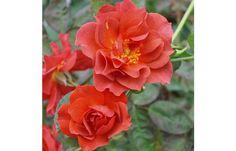 Cinco de Mayo small rosebush