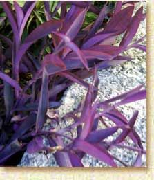 Wandering Jew. Easiest plant ever! I've had several varieties of Jews & they all are easy!