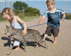 the_huge_domesticated_savannah_cat_1