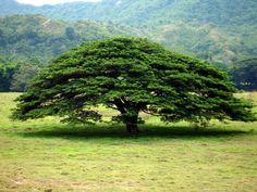Cuidar, reservar y respetar la naturaleza.  Árbol de la Dorada - Colombia.
