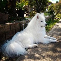 sitting pretty Samoyed