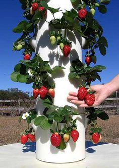 Strawberries ... mmmmmm.