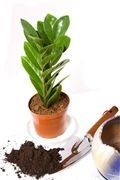 Zimmerpflanzen Repot Zamioculcas Zamiifolia Lawn Care Maintenance For Mere Mortals Article Body: Tho