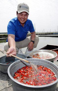 Endangered trade: Takashi Hattori tends to his goldfish in Tobishima, Aichi Prefecture, on May 16. | CHUNICHI SHIMBUN