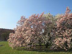 magnolie na Wawelu