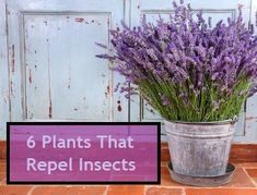 6 Insect Repellent Plants to Grow; repel mosquitoes, gnats, ticks, fleas, and more