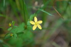 Hypericum humifusum,  trailing St John's-wort, millepertuis couché, オトギリソウ科オトギリソウ属 June 2015