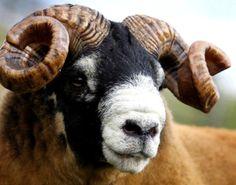 Scottish wool