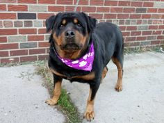 SAFE --- Brooklyn Center   BIJOU - A1018642   SPAYED FEMALE, BLACK / BROWN, ROTTWEILER MIX, 6 yrs STRAY - STRAY WAIT, NO HOLD Reason ABANDON Intake condition UNSPECIFIE Intake Date 10/25/2014, From NY 11412, DueOut Date 10/28/2014,   https://www.facebook.com/photo.php?fbid=895613510451529
