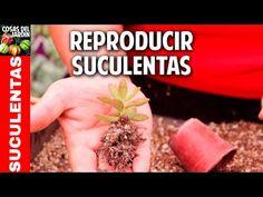 Mi suculenta está demasiado alta: cómo podar una suculenta con tallo estirado? - Cosas del Jardin Cactus Y Suculentas, Planting Succulents, How To Dry Basil, Green, Youtube, Primer Video, Gardening, Inspiration, Gardens