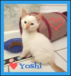 Yoshi **NO ADOPTION FEE** is an adoptable Siamese Cat in Livermore, CA. ***NO ADOPTION FEE THIS WEEKEND ONLY!!!*** Yoshi is a STUNNING male flame point Siamese kitten. He is about 10 weeks old (as of ...