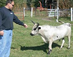 Dustin Pillard is a breeder of miniature cattle. Our miniature cattle come in a variety of colors like Texas Longhorns. Miniature cows as small as 31 inches tall. Miniature bulls as small as 32 inches tall. Miniature calves as small as 17 lbs. Miniature Cow Breeds, Miniature Cattle, Miniature Donkey, Miniature Horses, Mini Cows, Mini Farm, Mini Horses, Minature Cows, Animals