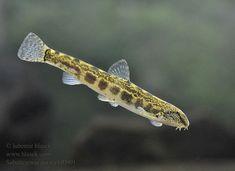Pez Botia, Photos Of Fish, Freshwater Fish, Fresh Water, Pets, Animals, Animales, Animaux, Animal