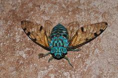 zammara cicada - Google Search
