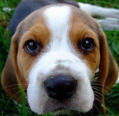 Beagle puppy, I want one