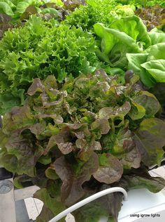 Lettuce growing in hydroponics at OSU OARDC #hydroponics #growlights