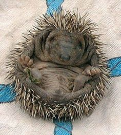 Have you ever raised hedgehogs? While many people prefer common pets, like dogs, cats, and fish, raising a hedgehog can be a lot of fun. Most household hedgehogs are believed to have originated in Africa [1]. They are about 5-8 inches long, and can live for about 3 to 8 years. Here's how to raise your own hedgehog!