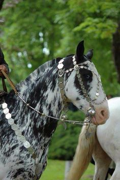 Criollo Argentino horses frequently show this colour, classified as overo…
