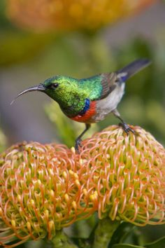 Greater Double-collared Sunbird feeds on Pincushion Protea at Kirstenbosch National Botanical Gardens near Capetown, South Africa.