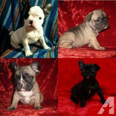 French Bulldog Puppies for Sale in Orlando, Florida Classified | AmericanListed.com