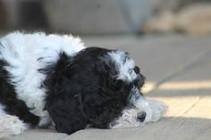 2016 Male Aussie Doodle out of Ritka and Tucker Vanity Grove Kennel ...
