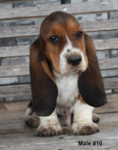 Puppies for sale - Basset Hound, Basset Hounds, Bassets - Basset Hound in Muenster - 45 miles NW of Denton, TX, Texas Basset Hound For Sale, Hound Dog Puppies, Basset Puppies, Basset Hound Dog, Dogs And Puppies, Really Cute Puppies, Cute Dogs, Miniature Basset Hound, Forever Puppy