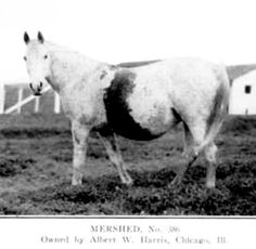 Mershed - An Arabian mare with an extensive bloodmark.