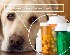Antibiotics For Dog Nail Infection (All You Should Know) Antibiotics For Dogs, Fungal Nail Infection, Nail Care Tips, Sick Dog, Dog Nails, Microorganisms, Nail Fungus, Greek Words, Organic Matter