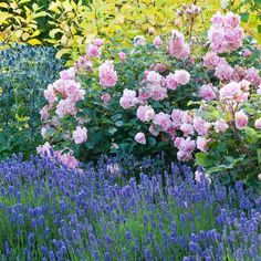 This fragrant and eye-catching summer border is part of the Fragrant Garden created by Allan Bloom for the Bressingham Gardens. Fairly easy to replicate, it combines the fragrant rose-pink blossoms of Rose 'Felicia' with the tall, misty-blue flowers a Pink Garden, Dream Garden, Shade Garden, Musk Rose, Fragrant Roses, Shrub Roses, Sea Holly, Magic Garden, Vegetable Garden Design