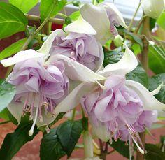 Fuchsia 'Blue Veil'