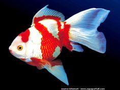 poisson rouge à 2 couleurs blanc et rouge