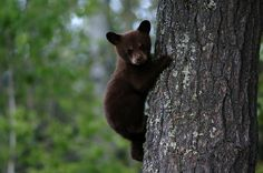 Whistler Bear Cub by ResortQuestWhistler, via Flickr #whistler #whistler bears #robpalmwhistler