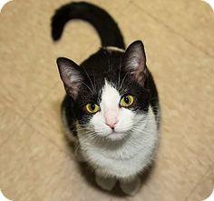 Medina, OH - Domestic Shorthair. Meet Gia, a cat for adoption. http://www.adoptapet.com/pet/13477976-medina-ohio-cat