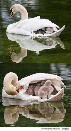 Cute Baby swan with Mom swan Animals And Pets, Baby Animals, Funny Animals, Cute Animals, Wild Animals, Beautiful Birds, Animals Beautiful, Chien Golden Retriever, Baby Swan