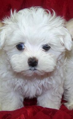 Dogs and puppies breeds maltese animals 40 ideas Cute Puppies, Cute Dogs, Dogs And Puppies, Doggies, Rescue Dogs, Animal Rescue, Baby Animals, Cute Animals, Baby Cats