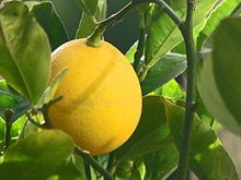 Hope we'll have a lot of these this year, but the lemon tree has not even bloomed yet