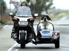 St. Bernard dog who rides side-car #stbernard #dogonmotorcycle #sidecar