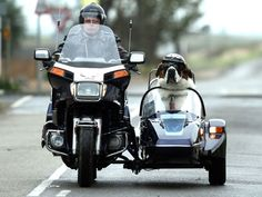 St. Bernard dog who rides side-car #stbernard #dogonmotorcycle #sidecar